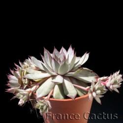 """Sempervivum """"Silvery Spring"""" pot de 8 cm"""