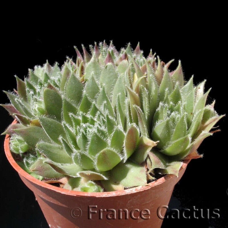 """Sempervivum sp. """"Silvery Spring"""" pot de 8 cm"""