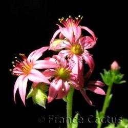 Jovibarba Arenaria Fleur