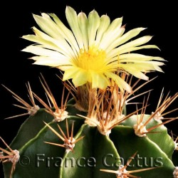 Astrophytum Ornatum fleur