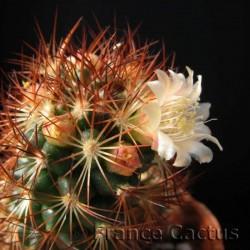 Mammillaria Elongata Rufocrosea fleur