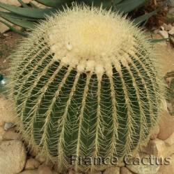 Echinocactus Grusonii 4