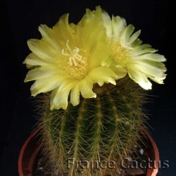 Notocactus Magnificus Pot de 5 cm