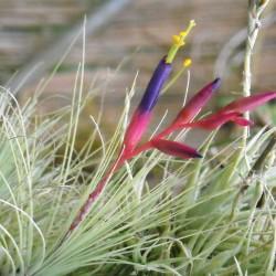 Tillandsia Argentea Fleurs