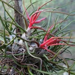Tillandsia Bulbosa Fleurs