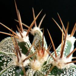 Astrophytum Ornatum détail