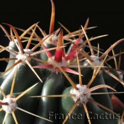 Ferocactus Horridus détail