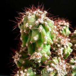 Cereus Hildmannianus fma monstruosa 3
