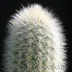 Cleistocactus Strausii Détail
