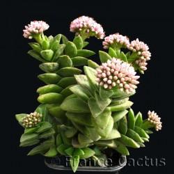 Crassula Bride's Bouquet en Pot de 8 cm