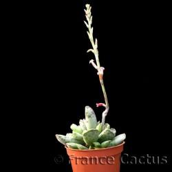 Adromischus Cooperi fleur