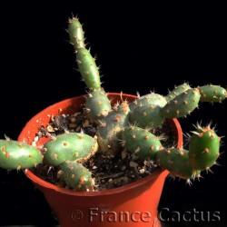 Tephrocactus Minor Pot de 5 cm