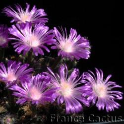 Trichodiadema Densum fleurs