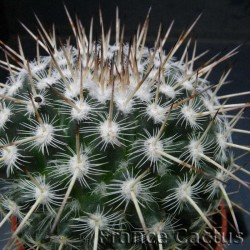 Mammillaria Geminispina détails