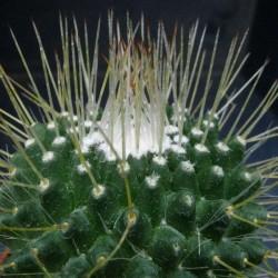 """Mammillaria Spinosissima """"Un Pico"""" Pot de 5 cm détail"""