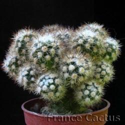 Mammillaria fragilis cv arizona snowcap
