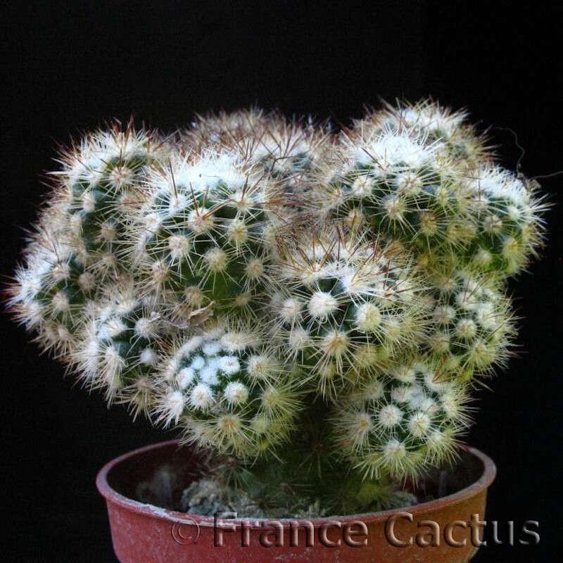 Mammillaria Fragilis cv Arizona Snowcap Pot de 8 cm