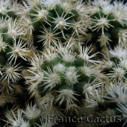 Mammillaria Fragilis cv Arizona Snowcap détail