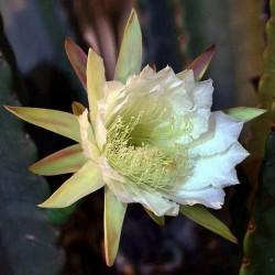 Cereus Jamacaru fleur