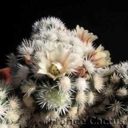 Mammillaria Fragilis cv Arizona Snowcap fleur